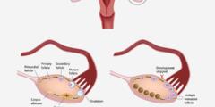 حجم البويضات التي ينتجها الرحم