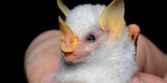 حقائق ومعلومات عن الخفاش مصاص الدماء