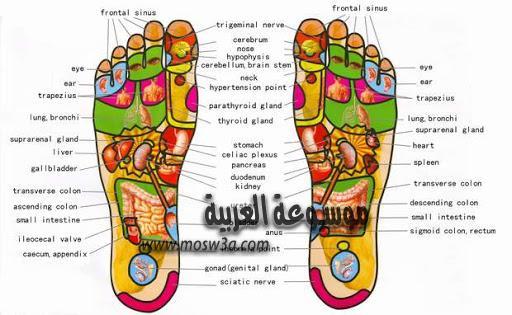 خريطة القدمين ودلالتها للصحة الجسدية موسوعة العربية خريطة القدمين ودلالتها للصحة الجسدية