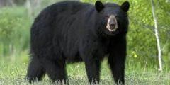 أهم معلومات عن الدب الأسود