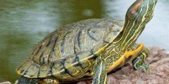 تعرف على كيفية تربية السلاحف الصغيرة البرية منها والمائية