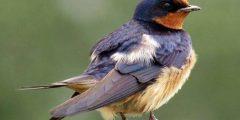 معلومات عن طائر السنونو… أكثر من 20 معلومة عن طائر السنونو