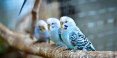 كيف تعرف طيور البادجي الذكر من الانثى