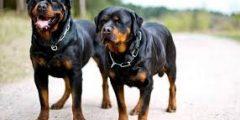 أهم معلومات عن كلاب الروت وايلر