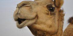 """من عجائب اللغة العربية: هل تعلم كم عدد الكلمات التي تشير إلى """"الإبل""""؟"""