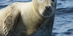 حيوان الفقمة أكثر من 30 نوعاً حول العالم