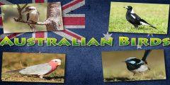 انواع العصافير الاسترالى واسمائها بالصور