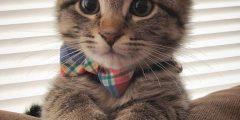 معلومات عن سلالة قطط سكوتش فولد