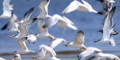معلومات هامة عن أنواع طيور البحر المميزة.. اسماء وانواع طيور البحر المميزة