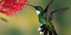 معلومات عن طائر الطنان الأمريكي : حقائق مدهشة ومثيرة!