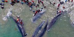 ما هي ظاهرة انتحار الحيتان