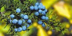 ماهى أهم فوائد نباتالعرعر.. معلومات هامة عن عشبة العرعر