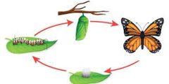 ما هي مراحل نمو الفراشة ؟