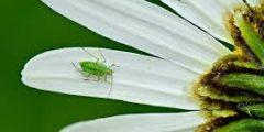 كيف تتخلص من حشرة المن في حديقتك ؟