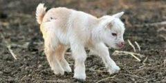 ماهى اهم أسباب موت الماعز بعد الولادة والرعاية الصحيحة للصغار