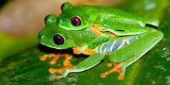 معلومات مدهشة عن ضفدع الشجر أحمر العينين بالصور