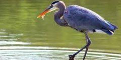 معلومات مذهلة عن طائر مالك الحزين الأزرق بالصور