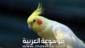 معلومات عن طائر الكوكتيل تحديد جنسه وغذائه وكيف يتكاثر