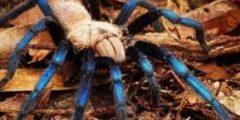 إكتشاف نوع جديد من العناكب – الرتيلاء الزرقاء الساطعة بالصور