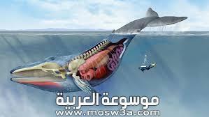كم وزن قلب الحوت وما عدد نبضاته