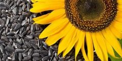 أهمية فوائد حب عين الشمس.. نعريفات بذور عن حب عين الشمس