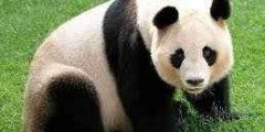 معلومات عن دب الباندا و سلوكه و شكله و نمط حياته بالتفصيل