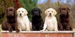 كلاب لابرادور ونشأتها وميزاتها وعيوبها