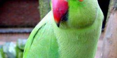 معلومات عن طائر الدرة المطوق او الببغاء الاخضر المطوق