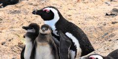 ماذا تعرف عن البطريق الأفريقي