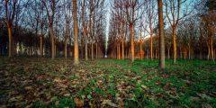 أهمية شجرة الباولونيا الأسرع نموًا في العالم