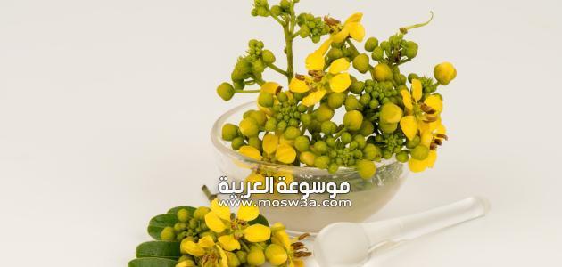 استخدام نبتة العشرق في الطب البديل