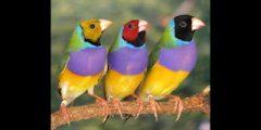 معلومات حول طائر الجولديان فينش وكيفية تربيته