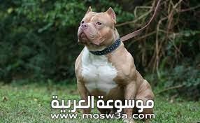 معلومات حول كلب البيتبول وكيفية تربيته